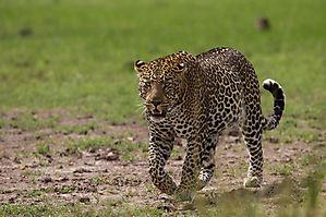 Léopard d'Afrique - Panthera pardus