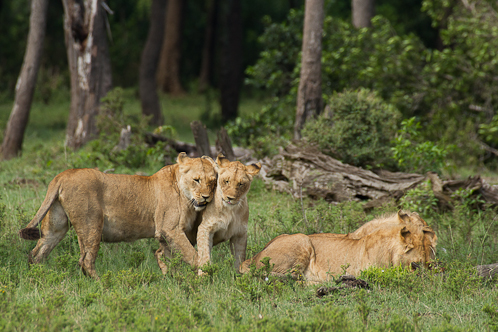 La famille de lion montre son affection à la lionne qui va mettre bas